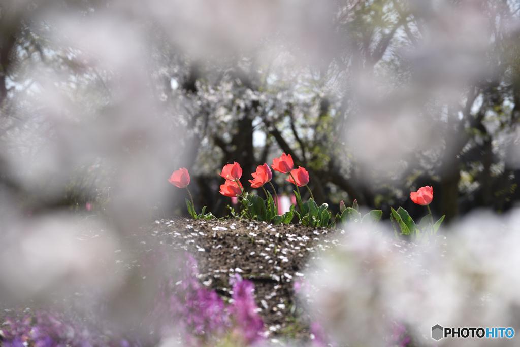 桜の花の先には