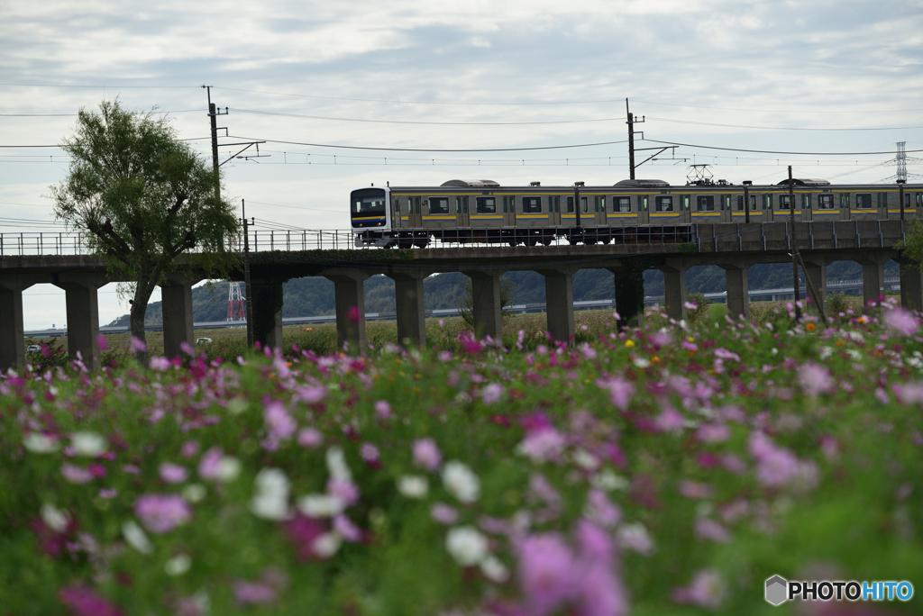 電車とコスモス畑