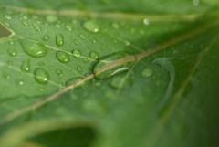 葉の上に水溜り