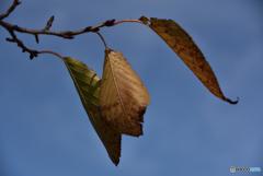 3枚の枯葉
