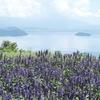 琵琶湖とサルビア