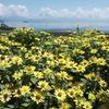 琵琶湖とジニア