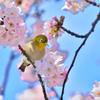 メジロ・桜・青空
