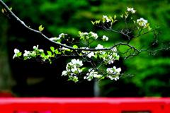 桜のつぎは花水木。