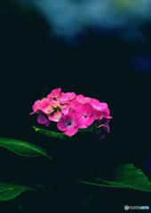 桃色紫陽花