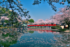 地元の桜まつり・絵葉書風
