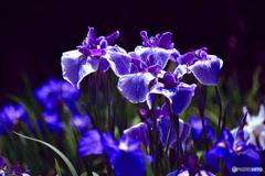 花菖蒲の輝き