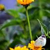 紋白蝶(2)