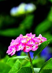 近所の紫陽花 2
