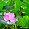 清らかな心(Lotus)