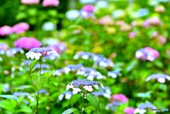 近所の紫陽花 3