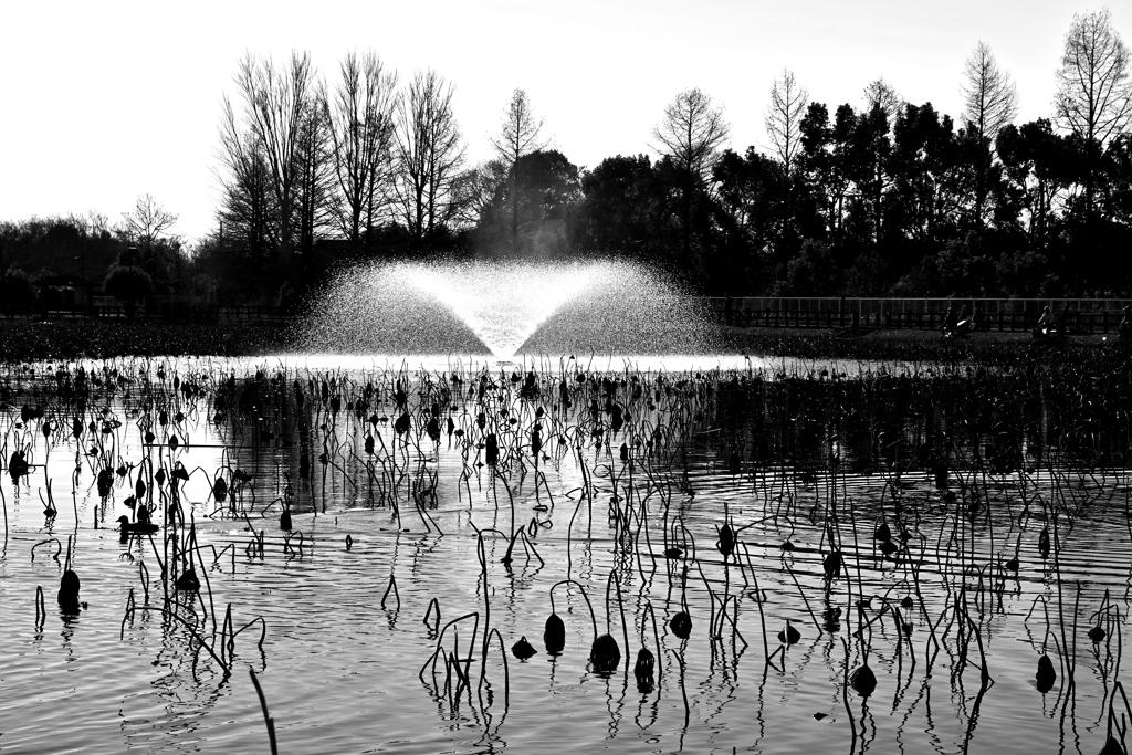 冬枯れ・蓮池