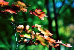 槭樹(かえで)