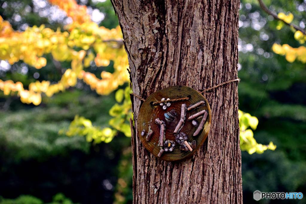 「カツラ」の樹・黄葉