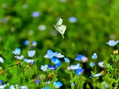 ネモフィラ畑を蝶が舞う
