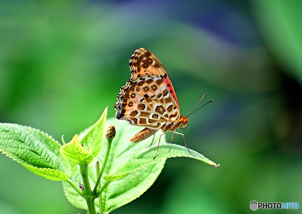 蝶々~ツマグロヒョウモン