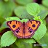 蝶々~タテハモドキ