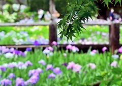 花しょうぶ(4)