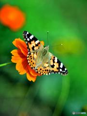 キバナコスモス with Butterfly