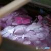 手水舎(ちょうずや)に紫陽花(あじさい)が浮かぶ