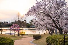 夕日の中の桜