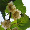 庭のキウイフルーツ