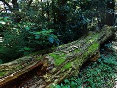 深い森の倒木