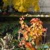 【身近な自然】・畑のあぜ道にも・・紅葉がきました!