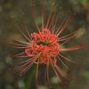 【季節の情景】・彼岸花が真っ盛り・・その2!