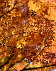 【身近な自然】・森の影絵・・紅葉到来!