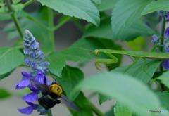 【季節の情景】・小さな世界の睨み合い・・熊蜂vs蟷螂!