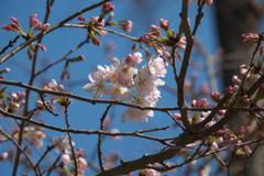 円覚寺の桜~鎌倉散歩