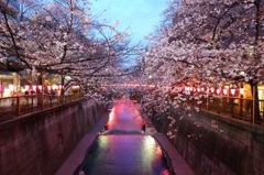 目黒川 夕暮れ時の桜