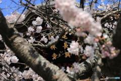 鎌倉建長寺の桜
