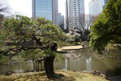 小石川後楽園 松