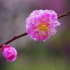 紅梅-武蔵野-