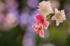 春の十月桜-2