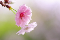 春の十月桜