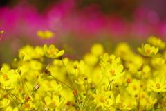 幸福の黄色いコスモス