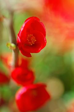 春呼ぶ赤い花