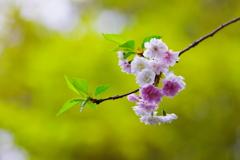三月に咲く十月桜
