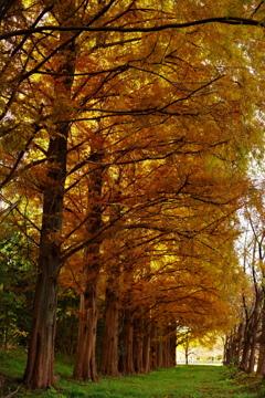 メタセコイヤの秋色