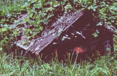 謳歌する花と朽ちる小屋
