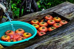 新鮮トマトで夏バテ撃退セール!