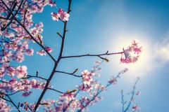 のびする桜