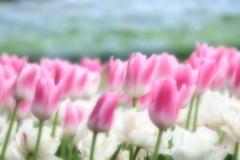 春色チューリップ♡