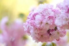 久寿玉桜♡