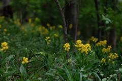 キンランの森