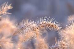 冬のチカラシバ