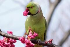 くちばしに桜